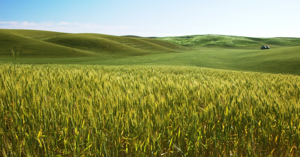 Palouse Barley Fields, by Victor Szalvay.