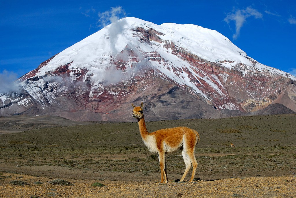 A vicuña chills in front of Chimborazo volcano, Ecuador. By David Torres Costales. CC-BY-SA 3.0.