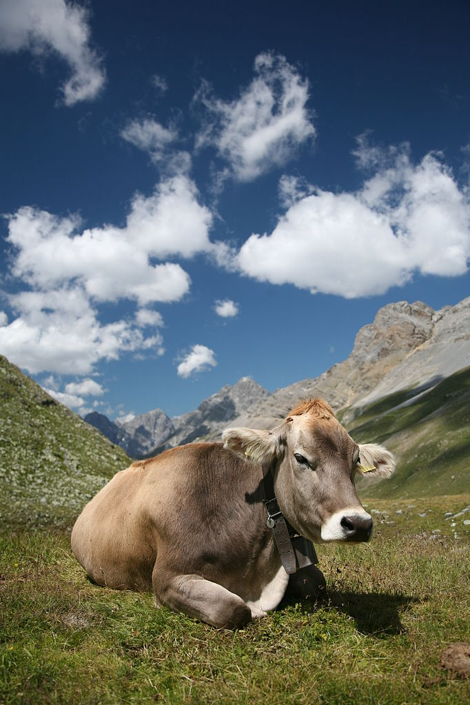 Cow, below Fuorcla Sesvenna in Engadin Valley, Switzerland. By Daniel Schwen. GFDL 1.2.